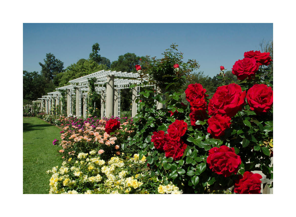Rose Garden With ˋdrop Dead Redˊ Roses By Lisa Blackburn Paper Print The Huntington Custom Prints Custom Prints And Framing From The Huntington Library Art Museum And Botanical Gardens